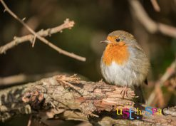 Robin by Carpenter Photography